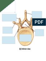 Vertebra anatomy 125