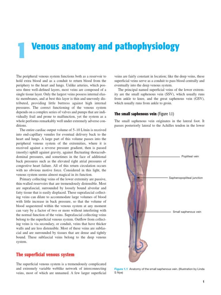 Vein Anatomy And Function Vein Human Leg