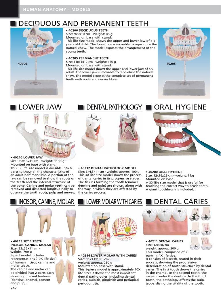 13 Human Anatomy ING   Vertebral Column   Tooth