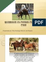 Quebrante en Potros Peruano de Paso