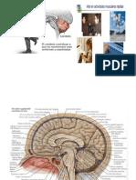 Neuroanatomía - Cerebelo