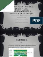 Estructura Interna (Mesofilo)