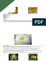 crizantema.pdf