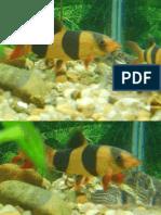 peixes ornamentais aquario de botias palhaço