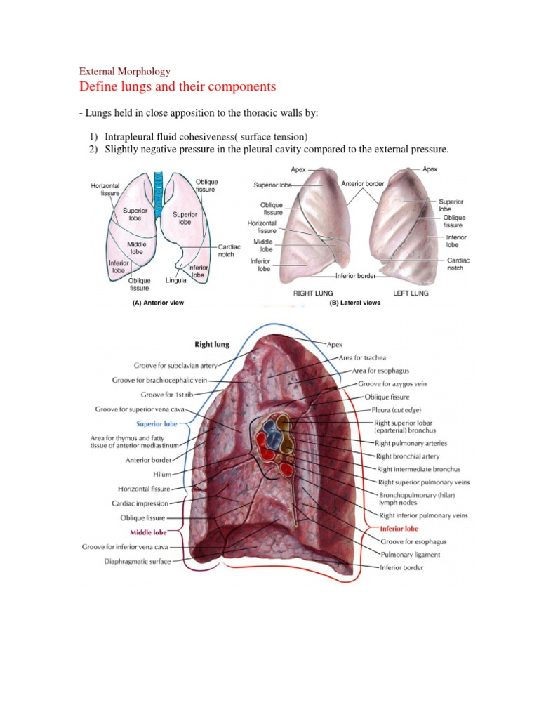 Lung Anatomy Lung Respiratory Tract