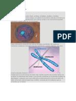 Fases de Mitosos y Meiosis.docx