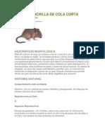 RATÓN CHINCHILLA DE COLA CORTA