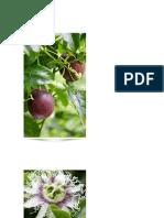 Maracujá Roxo - Passiflora edúlis