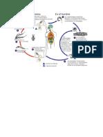 paracitologia