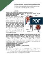 Anatomia funcţională a rinichiului.doc