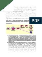 Granulocitos