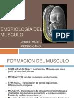 Embriologia musculos