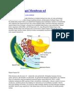 Struktur Fungsi Membran Sel