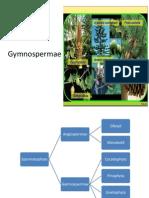 gymnospermae