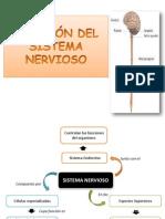 DIVISIÓN DEL SISTEMA NERVIOSO