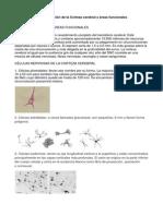 Sistematización de la Corteza cerebral y áreas funcionales