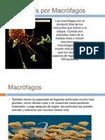 Fagocitosis por Macrófagos