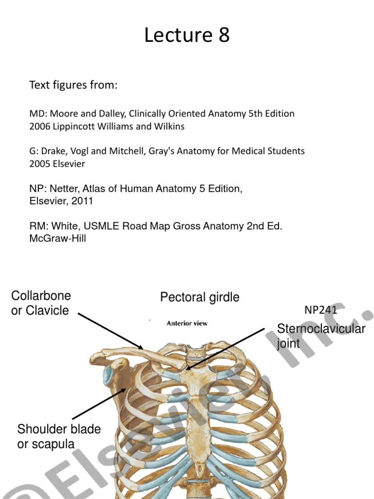 Scapula Elevation And Depression Musculoskeletal System Human