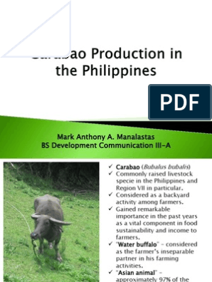 Carabao Production in the Philippines | Domesticated Animals