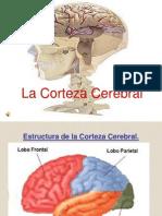 Bases Biolgicasl a Corteza Cerebral