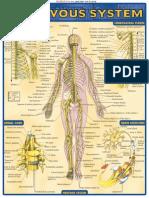 Study Nervous System
