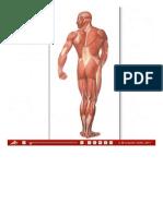 La Muscolatura Umana, Lato Posteriore - Tavole Da Muro Grandi - Tavole Didattiche - 3B Scientific