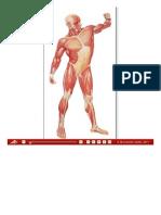 La Muscolatura Umana, Lato Anteriore - Tavole Da Muro Grandi - Tavole Didattiche - 3B Scientific