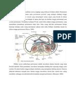 Anatomi Peritoneum