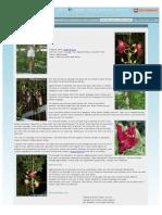 Kigelia Pinnata, Sausage Tree - TopTropicals.com
