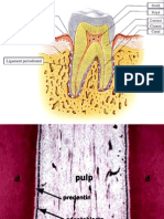 Pulpa Cement Ligament