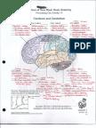 Brain Anatomy Notes