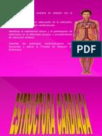 ANATOMIA DEL APARATO CIRCULATORIO2.pptx