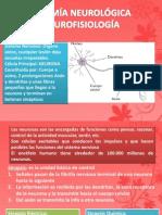 Anatomía Neurológica y Neurofisiología