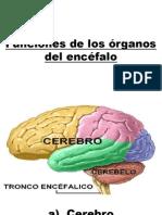 Funciones de los órganos del encéfalo.pptx