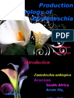 Production Technology of Zantedeschia