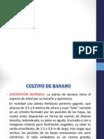 diapositivas de cultivo banano.pptx