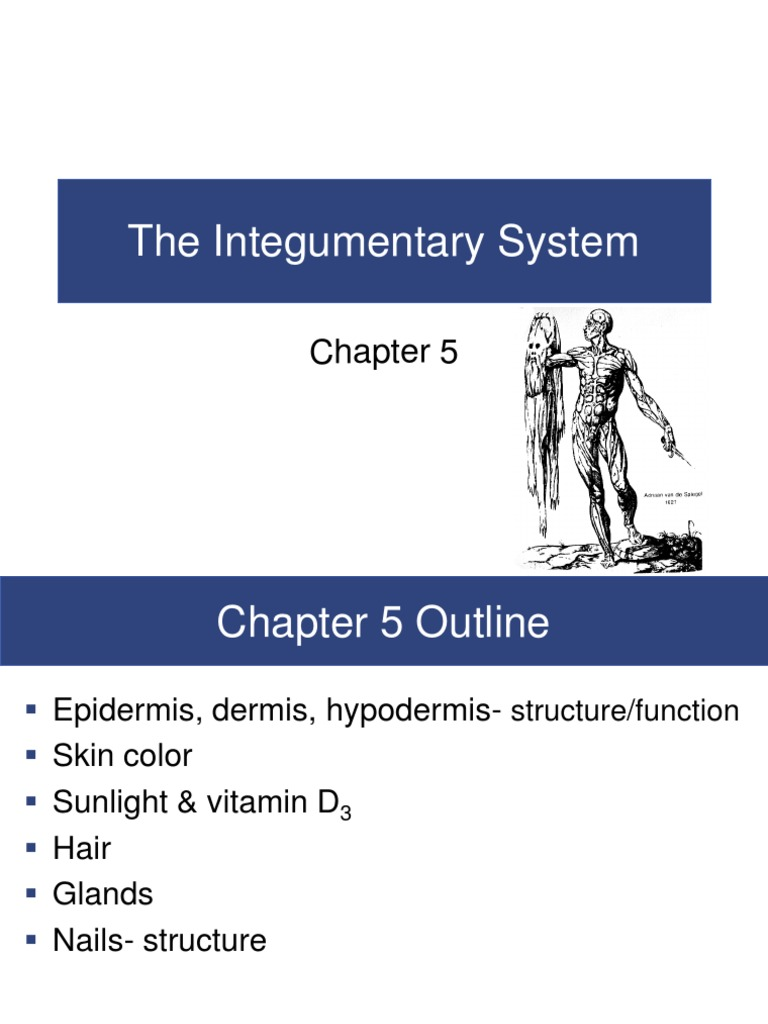 Chapter 5 Integumentary System.pdf | Integumentary System | Skin