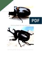 jenis2 kumbang