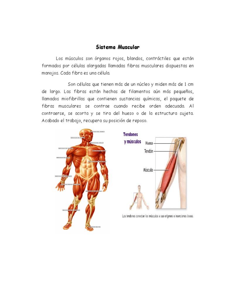 Increíble Tendón Definición Anatomía Patrón - Imágenes de Anatomía ...