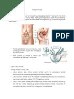 Anatomi Prostat