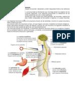 El Sistema Nervioso y Las Neuronas
