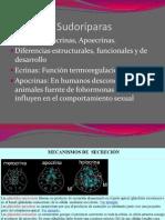 Glandulas_apocrinas