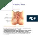 Aula - Anatomia e Fisiologia Do Aparelho Reprodutor Feminino 2 - Sofia