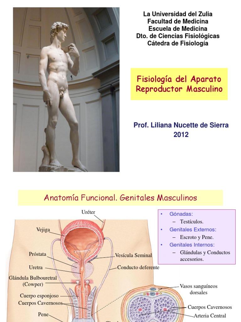 Excelente Anatomía Escroto Elaboración - Anatomía de Las Imágenesdel ...