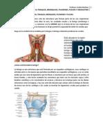 4. Estructura de la laringe. Estructura de  tráquea, bronquios, pulmones,  pleuras y Mediastino.