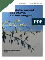 El Ciclo Del Olivo. La Fenologia Del Olivo.