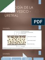 FISIOLOGÍA DE LA UNIÓN VESICO - URETRAL2
