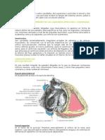 Cavidades cardiacas