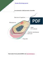 Bacterii Celula Sciziune Binara