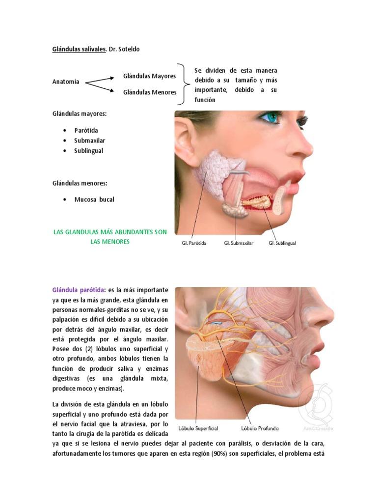 Perfecto Anatomía Glándula Sublingual Modelo - Imágenes de Anatomía ...